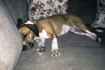 Dog is sleeping on leather grey couch