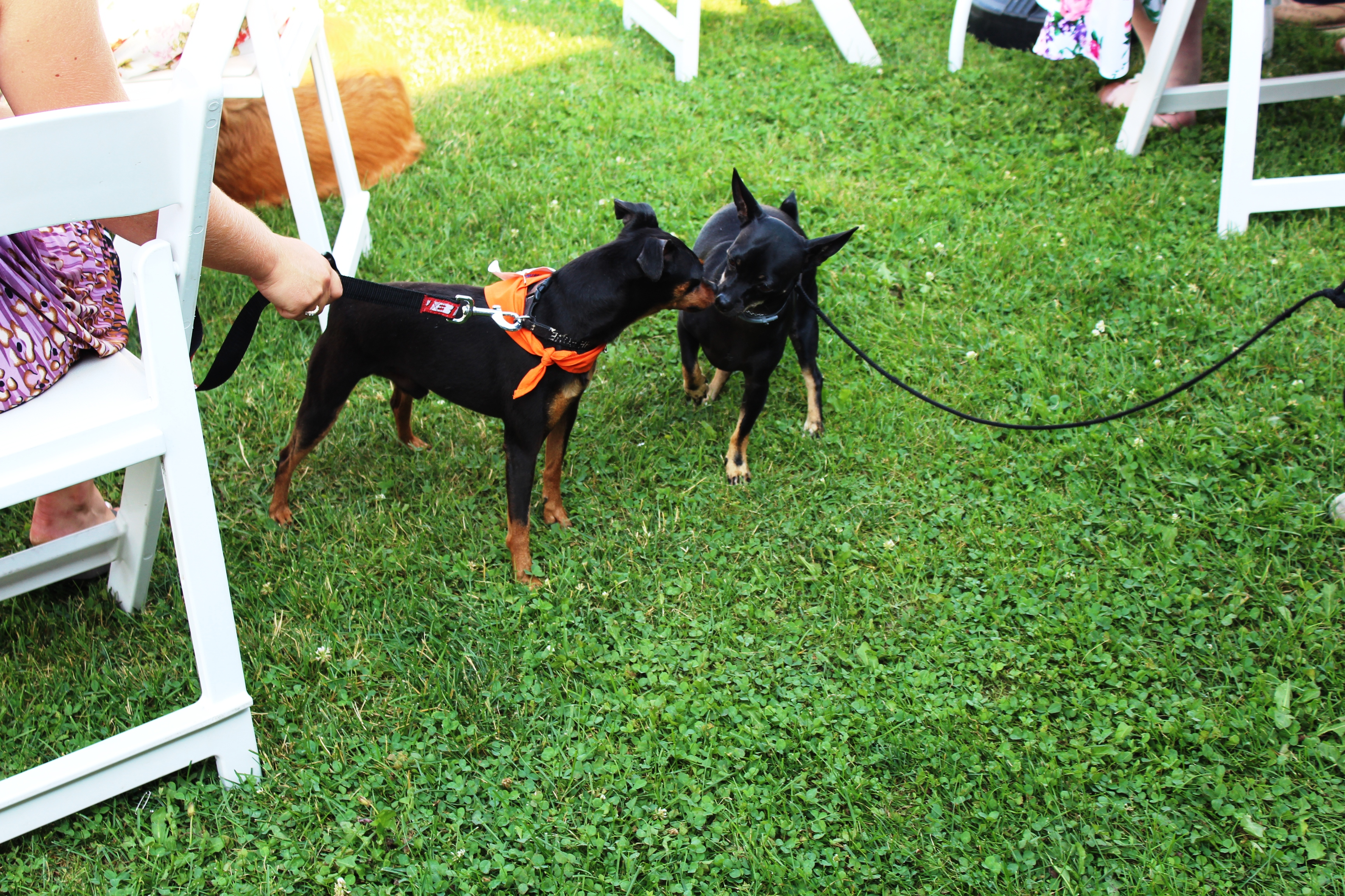Two minature pinscher dogs sniffing each other at the Saratoga Dogs Pony Show to benefit AIM Services, Inc.