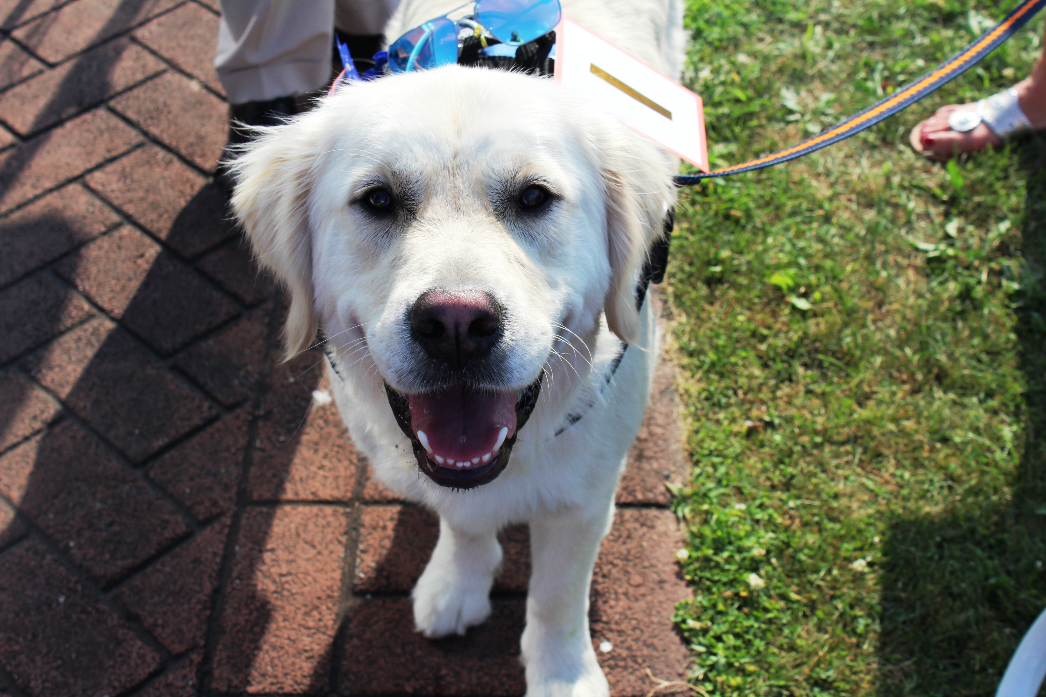 Yellow lab smiling at camera at the Saratoga Dogs Pony Show to benefit AIM Services, Inc.