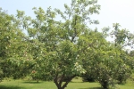 Large apple tree under sunny sky