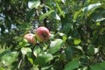 Close up of apples on apple tree